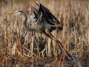 Garza alzando el vuelo de un pantano