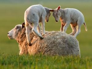 Corderitos jugando sobre la mamá oveja