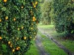 Una maravillosa plantación de naranjos