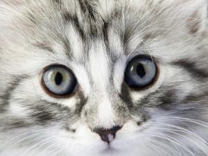 La cara de un gatito gris