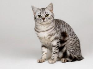 Un bonito gato gris