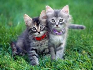 Gatitos grises en el césped