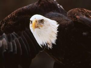 Águila extendiendo las alas