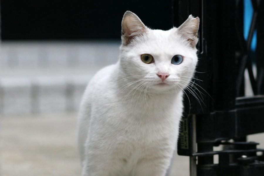 Gato blanco con los ojos de distinto color