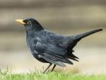 Pájaro negro sobre la hierba