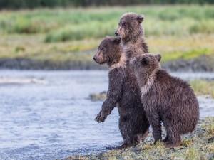 Tres osos queriendo cruzar el río