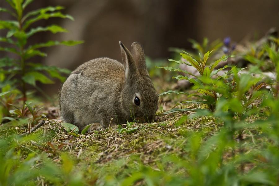 Un conejo gris comiendo hierba verde