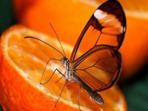 Mariposa posada sobre media naranja