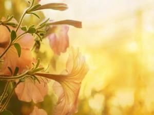 Los rayos de sol cubren a unas bellas petunias