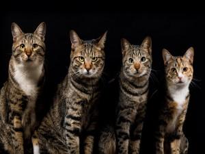 Cuatro hermosos gatos
