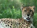 Un guepardo mirando fijamente
