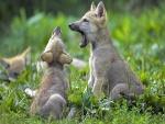 Jóvenes lobatos tumbados en la hierba verde