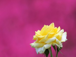 Rosa amarilla sobre un fondo de color rosa