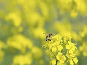 Una abeja recoge el néctar de las flores amarillas