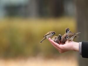Gorriones comiendo de la mano