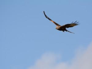 Águila volando en el cielo