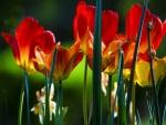 Bellos tulipanes y narcisos