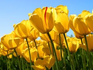 Tulipanes amarillos en el campo