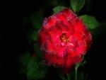 Gotas de rocío en una rosa roja