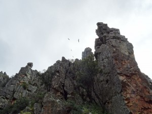 Buitres en el Parque Nacional de Monfragüe (Cáceres, España)