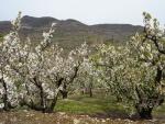 Cerezos en flor (Valle del Jerte, España)