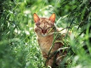 Gato montés árabe entre la hierba verde