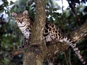 Ocelote en lo alto de un árbol