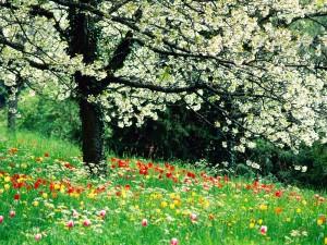 Tulipanes bajo un árbol en flor