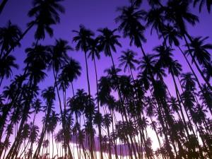 Amanece sobre las palmeras