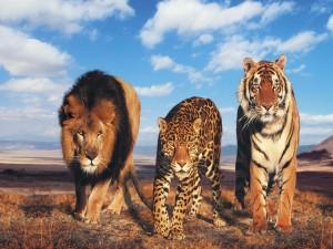 Un trío de depredadores caminando