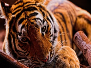 Un tigre descansando