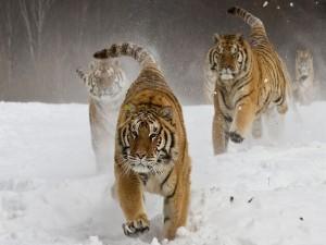 Tigres corriendo en la nieve