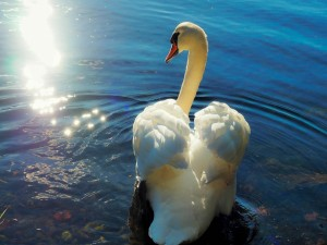 Precioso cisne blanco en el agua