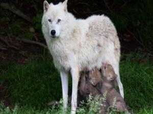 Cachorros de lobos alimentándose