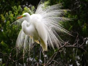 Radiante garza blanca sobre las ramas