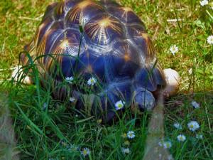 Tortuga caminando en la hierba