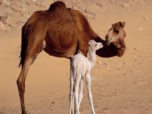 Camello bebé junto a su madre