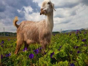 Cabra en un prado con flores de color lila