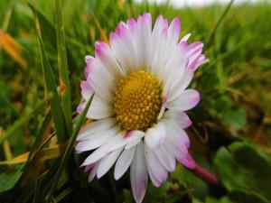 Solitaria margarita en la hierba