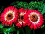Tres lindas gerberas en la planta