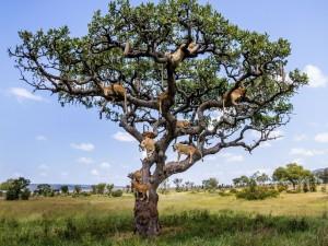 Leones sentados en las ramas de un árbol