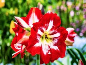 Radiante azucena roja con centro blanco