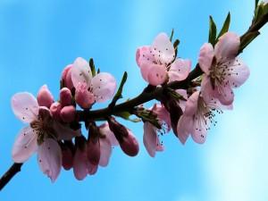 Rama florecida en primavera