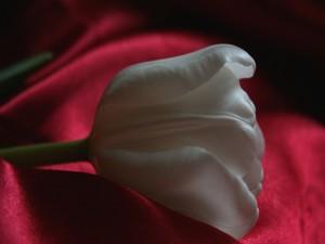 Tulipán blanco sobre una tela roja