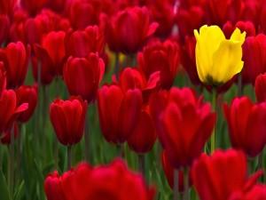 Un tulipán amarillo entre varios rojos