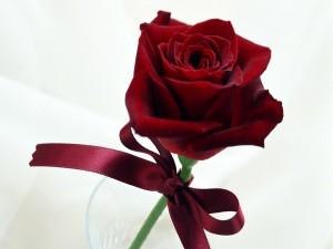 Espléndida rosa con un lazo rojo