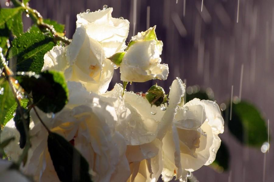 Rosas blancas bajo las gotas de lluvia