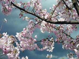Floración del manzano