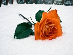 Una rosa de color naranja sobre la nieve
