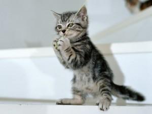 Gatito con un juguete entre las patas